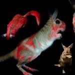 UV-fény alatt világító nyulakat találtak Afrikában