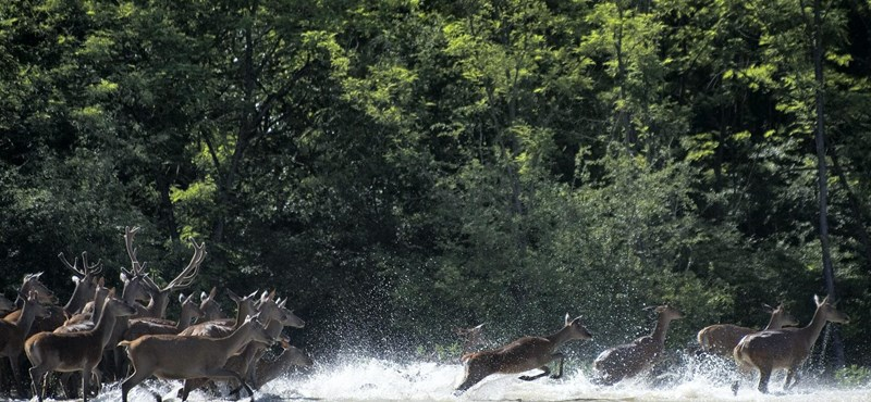 Fotó: szarvas és róka együtt menti az életét az árvíztől
