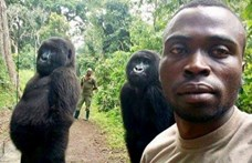 A gorillák mindent eldobtak, amikor meglátták, hogy szelfi készül