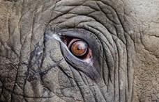 """Új otthona felé tart """"a világ legmagányosabb elefántja"""""""