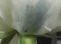 Fotó: kék rózsát állítottak elő kínai kutatók