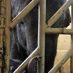 Egymásra hangolódott anyjával az állatkerti kiselefánt