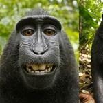 Kiderült, kié a hírhedt majomszelfi szerzői joga