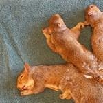 Úgy összegabalyodott öt bébimókus farka, hogy szét kellett műteni őket