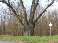 Felgyújtották Patkó Bandi 300 száz éves, legendás fáját