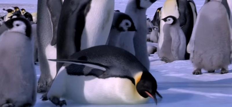 Pingvinfiókák ezrei fulladtak meg egyetlen éjszaka alatt az Antarktisznál