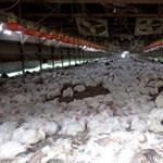 Most először fertőzött meg embert a madárinfluenza egyik vírustörzse