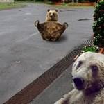 Szelfiző medvék Hevesben? Mém lett a lassan mindenhol felbukkanó nagyvadból – fotók