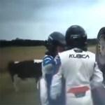 Kubica tehenek közé borította raliautóját - videó