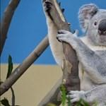 El kellett altatni a fővárosi állatkert koaláját