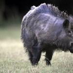 Városba beszökő vaddisznókat lőhetnek ki Debrecenben