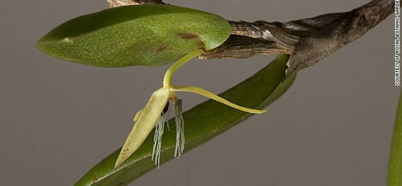 Fotó: csak éjjel virágzó orchideafajt fedeztek fel