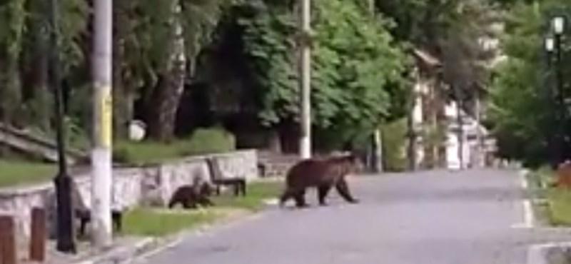 Nyüzsögnek a medvék Tusnádfürdőn - videók