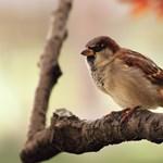 Szeretne madarak csicsergésre ébredni? Ha ezt letölti, minden reggel így lesz