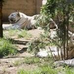 Fotók: fehér tigrisek érkeztek Nyíregyházára
