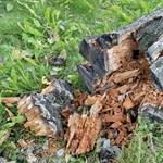 Tízszer annyi fa pusztult el idén egy klímaváltozást kedvelő gomba miatt