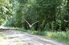 Elindult Afrikába Zoltán, az egyetlen jeladós magyar fekete gólya