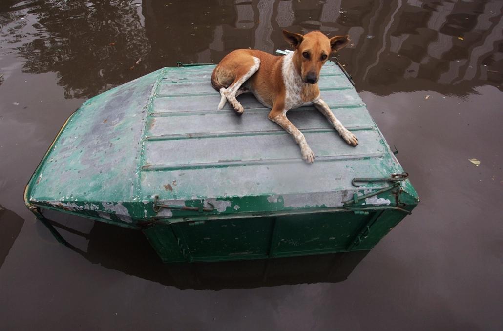 AP! augusztus 14-ig! hét képei - Ahmadábád, 2014.07.30. Egy kutya egy árvízben elakadt jármű tetején az indiai Ahmadábád egyik elöntött utcáján 2014. július 30-án.
