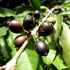 Újra felfedezett fajta oldhatja meg a kávéhiányt