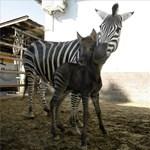 Furcsa zebra-póni keverék született Karcagon