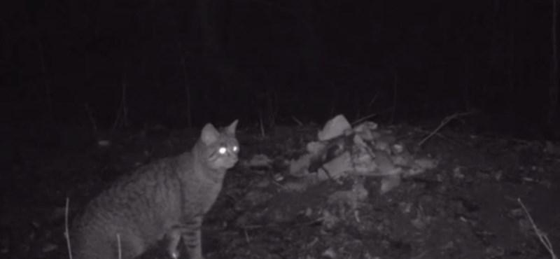 Róka és vadmacska kerülgette egymást a Tisza-tónál – videó