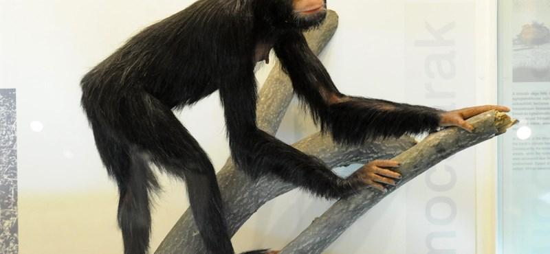 Már a rudabányai ősmajom is tudhatott felegyenesedve járni