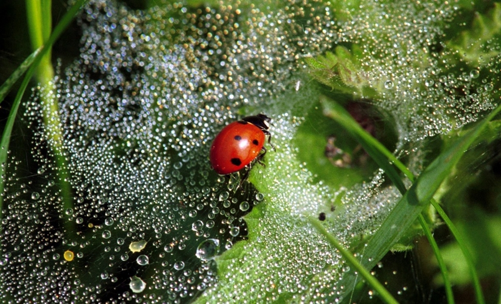 afp. pók, pókháló, nagyítás - 2003.05.16. Germany, Mandelbachtal : (dpa) - A ladybug is captured in a spider web covered with dew drops in Heckendalheim, Germany, 16 May 2003. As summertime is coming up meadows are buzzing and fluttering with large quanti