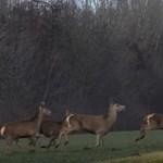 Több száz szarvas vágott át egy úton Baranyában - videó