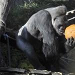 Jön a halloween: nézegessen cuki állatokat töklámpással az állatkertből!