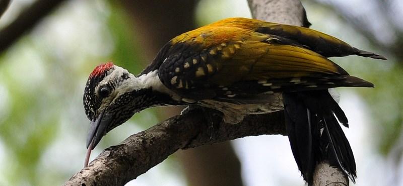 Mire jó a harkály nyelve? 3 fantasztikus tény az állatvilágból