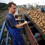 Új cukorgyár? Kockázatos vállalkozás