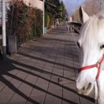 Egy fehér ló sétál egyedül minden nap az utcákon – a rendőrséget sem zavarja