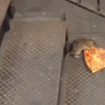 A pizzát cipelő patkány az új sztár a neten