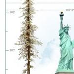 Híres épületeket köröz le a világ legmagasabb fája, nem is kevéssel