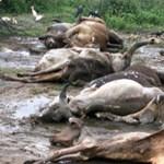 Elhullott tehenek százaitól bűzlenek az utcák India egyik államában