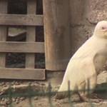 Albínó pingvin kelt ki a gdanski állatkertben