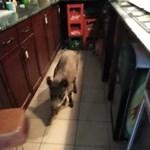 Vaddisznó ment be egy salgótarjáni pizzériába – videó