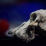 Találtak egy 3,8 millió éves koponyát, amely megmutatja, milyenek voltak az elődeink elődei
