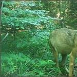 Nálunk a kóborló medvékkel, a franciáknál az éhes farkasokkal riogatnak
