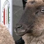 """""""Élet-halál kérdése"""": Bárányokkal mentek a Kossuth térre a hortobágyi gazdák"""