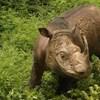 Elpusztult Malajzia utolsó hím szumátrai orrszarvúja, Tam