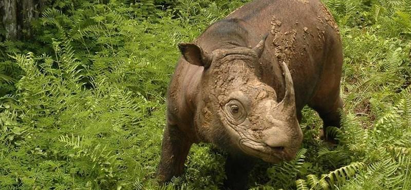 Elpusztult az utolsó is, nincs már több szumátrai orrszarvú Malajziában