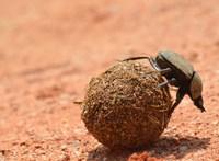 Egy ellenpróba bizonyította, hogy eddig alaposan félreértettük a ganajtúró bogarakat