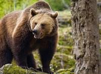 Súlyos medvetámadás Székelyföldön