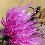 A magyar kormány nem áll a méhek pártjára