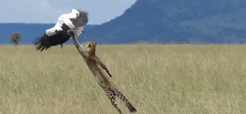 Lenyűgöző jelenet: a leopárd Michael Jordan módjára próbálja bezsákolni a gólyát