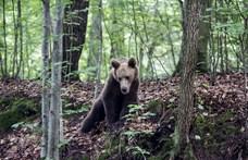 Fejszével ütötte agyon a feleségére támadó medvét a román férfi
