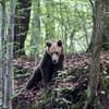 20 órán át haldoklott az út mellett az elgázolt medve, leváltják a hargitai prefektust