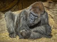 Megkapták a kísérleti oltást a majmok a San Diegó-i állatkertben