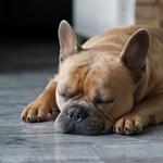 Miben hasonlít az alvó kutya a gazdájára? Ez nem egy vicc kezdete, hanem egy kísérleté